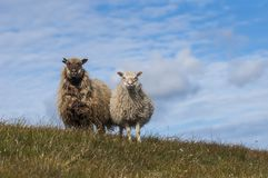 Sheep standing on a hill in Faroe Islands. Two sheep standing on a hill in Faroe Islands, sheep kingdom stock photo