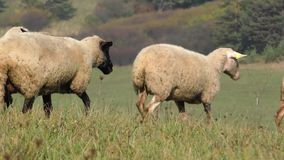 Two sheep standing in a line between the flock in the field stock video
