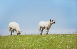 Two sheep standing looking on the dyke. Sheep standing on a seawall looking curiously into the camera, in the north of germany Royalty Free Stock Photo
