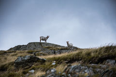 Two sheep standing on the rock in the mountains. Of Snowdonia Stock Photos
