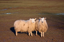 Two sheep standing together in a field Royalty Free Stock Photo