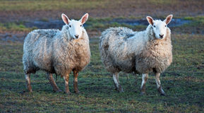 Two sheep standing together in a field Stock Photos