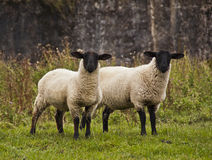 Two sheep staring Royalty Free Stock Photo