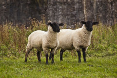 Two sheep staring at something Stock Photos