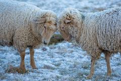 Two sheep in the snow with ice in their fur stock photo