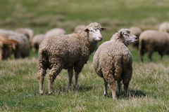 Two sheep on the  summer meadow Royalty Free Stock Image
