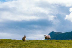 Two sheep in summer Scandinavia Royalty Free Stock Photo