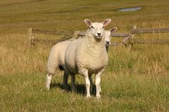Two Sheep on a dike Stock Images