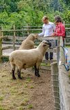 Two sheep in their pen by the fence being fed treats. stock image