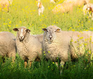 Two sheep with thick fur on summer pasture Royalty Free Stock Photo