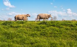 Two sheep walking behind one another on the top of a dike. Two sheep walking behind one another on the top of a Dutch dike on a sunny day in the spring season stock images