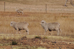 Two sheep walking in a row in a dry farm paddock. The two sheep walking in a row are in a drought affected farm paddock, evident by the dry grass, with few trees Stock Images