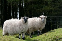 Two Sheep with wooly coats Royalty Free Stock Photography