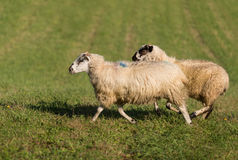 Two Sheep (Ovis aries) Run Left Stock Photo