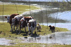 Two  sheepdog and cows on watering place Royalty Free Stock Photography