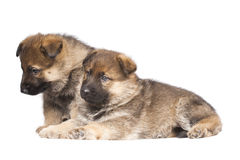 Two sheepdog`s puppies Royalty Free Stock Photo