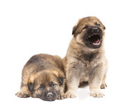 Two sheepdog`s puppies Stock Photography