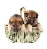Two sheepdog`s puppys Stock Photos