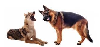 Two sheepdogs Stock Photos
