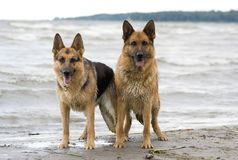Two sheepdogs Stock Image