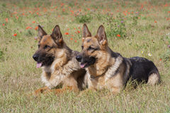 Two sheepdogs Royalty Free Stock Photography