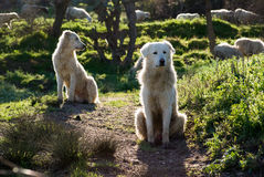 Two sheepdogs maremmano Royalty Free Stock Photo