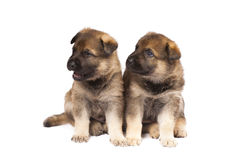 Two sheepdogs puppies Stock Images