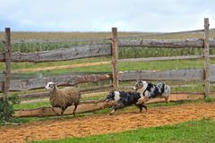 Two Sheepdogs working. Border Collie with Australian Shepherd working as sheepdogs with flock of sheep in a meadow Stock Images