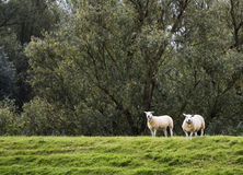 Two sheeps Stock Photography