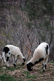 Two sheeps Stock Photos