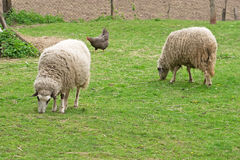 Free Two Sheeps And Chicken Stock Photos - 9089373