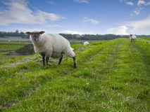 Two sheeps on dike Royalty Free Stock Images