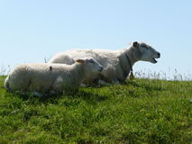 Two sheeps. On dike, Terschelling Stock Photos