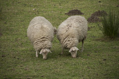Two sheeps eating in the meadow. Two sheeps eating in the green meadow Royalty Free Stock Photography
