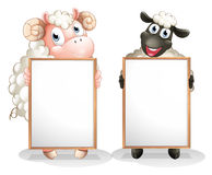 Two sheeps with empty boards. Illustration of the two sheeps with empty boards on a white background Royalty Free Stock Photo