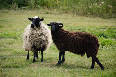 Two Sheeps. Sheeps in evening sunlight looking a camera Royalty Free Stock Photography
