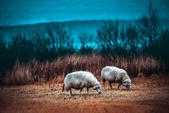 Two sheeps grazing on the field Royalty Free Stock Photo
