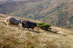 Two sheeps grazing on summer hills. Black and whire sheeps running down the hill. Pasture background. royalty free stock images