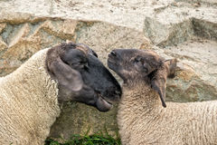 Two Sheeps Royalty Free Stock Photo