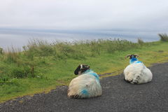 Two sheeps in Ireland. At a grey street Royalty Free Stock Photography