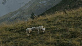 Two sheeps and a lamb meet in the mountain pasture. stock video
