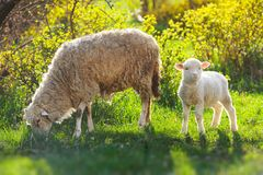 Two sheeps. little baby lamb with adult mother sheep. Two sheeps. little baby lamb with adult eating sheep royalty free stock photo