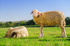 Two sheeps on the meadow Stock Images