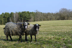 Two sheeps. Sheeps in nature green meadow Royalty Free Stock Photos
