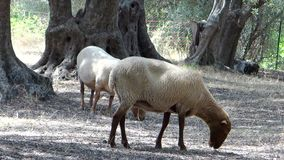 Two sheeps in an olive grove. Two sheeps eating in a sunny day stock video footage