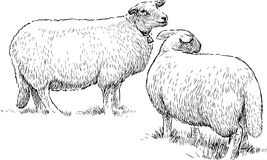 Two sheeps on the pasture Stock Photo