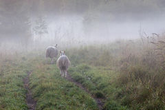 Two sheeps on a road Royalty Free Stock Photos