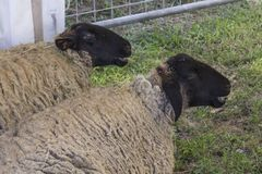 Two sheeps sit on the ground Stock Photo