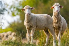 Two sheeps. In the field looking at camera Royalty Free Stock Photography