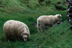 Sheeps very intent on eating grass on the Faroe Islands. Two sheeps very intent on eating grass on the Faroe Islands royalty free stock photo